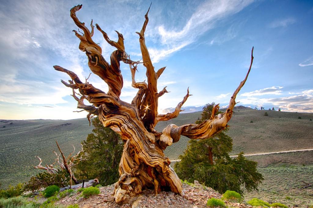 methuselah-tree-2